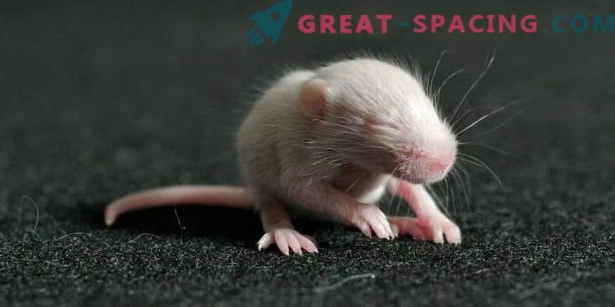 Mäuse wurden aus Sperma geboren, das seit 9 Monaten im All war.
