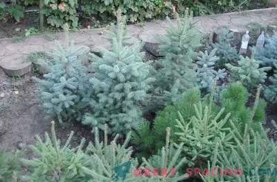 Plantones de plantas coníferas